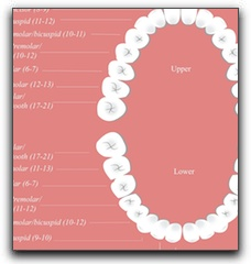 Eruption Charts: Allen TX Dentistry For Children